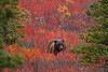 9.15.13: A Grizzly Bear in Denali National Park makes his way through the colorful fall foliage on a great day in the Preserve.